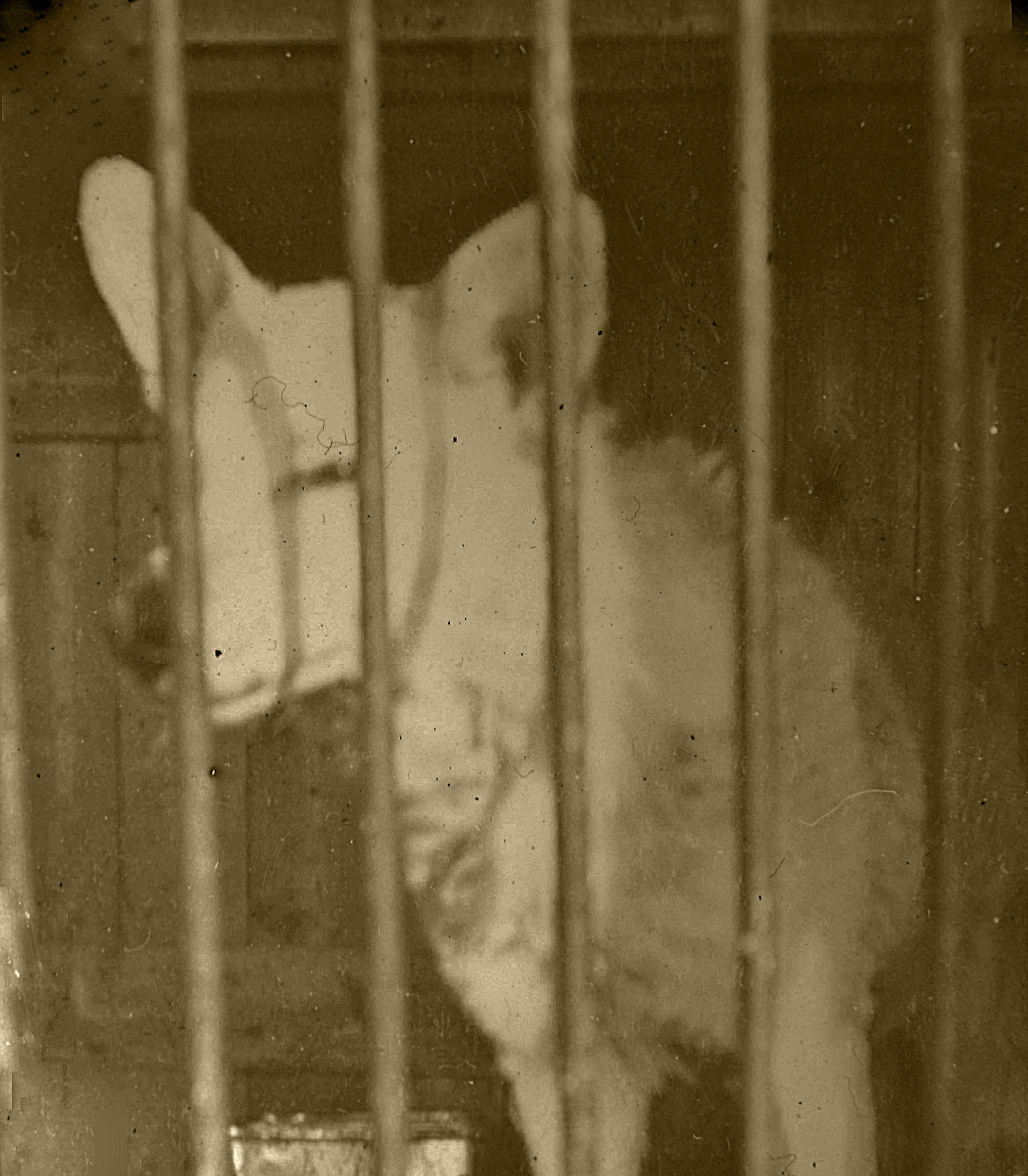 Shotley Wolf in its Cage c1904