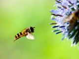 Hoverfly Monster in your garden