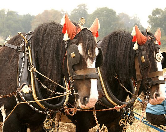See Shire Horses and Shetland Ponies at Beamish Museum this Weekend