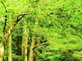 Bluebells by River Derwent